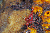 9511 BALI ISLAND TRIP :潛點-Seraya,機械蝦