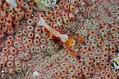20080406-08小琉球:帝王蝦在梅花參的肚子上,※請注意,左下角有一隻超級迷你的白色小圓蟹喔~我也是今天才發現的