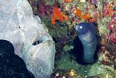 20080425Moalboal - 20080502:娃娃魚與和尚鰻的相遇