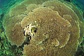 20080425Moalboal - 20080502:像大桌子的石珊瑚,其實魚很多的,都躲進去了