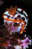 20170708-0709_東北角(下) Northeast Coast,Taiwan:紫斑多彩海蛞蝓- 每個星期都會看到,吃飯飯中
