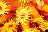 20080425Moalboal - 20080502:開花的星珊瑚
