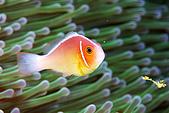 20080228-20080302綠島:美美的小丑魚與海葵
