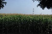 20090209鹽水蜂炮+新營+柳營:這季節有一望無際的玉米田,阿娟心想該搬到這邊住,吃不完的玉米