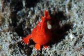20170405 Ambon Diving 安汶潛水趣:導潛發現的迷你橘,令所有人都驚呼了~~(這趟最迷你最可愛的一隻娃)