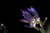 20180825-26_東北角 Northeast Coast,Taiwan (上):紫焰扇羽,好美~