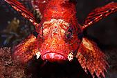 9511 BALI ISLAND TRIP :潛點-Seraya,石頭魚