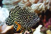 20080425Moalboal - 20080502:石斑魚的小朋友