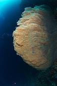 20080425Moalboal - 20080502:大海扇,Moalboal有很多大海扇潛點