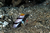 20170404 Ambon Diving 安汶潛水趣:我的T-Shirt 講的就是這種Goby ,極度害羞 Super Shy (只有一次快門的機會)