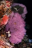 20170405 Ambon Diving 安汶潛水趣:我彷彿看到海底的櫻花盛開