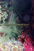 20080425Moalboal - 20080502:黑環海龍呈十字型