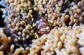 20170721-0722_東北角(下) Northeast Coast,Taiwan:雖然這支潛水沒拍到什麼,但看到Disc anemon shrimp 就滿足了,夢幻又可愛的蝦~(完)