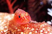 9511 BALI ISLAND TRIP :潛點-Seraya,little goby