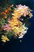 20080425Moalboal - 20080502:軟珊瑚