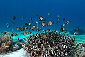 20191007_Panglao,Bohol Part 1:阿星說難得拍到所有的魚飛出來的畫面,通常都是躲到珊瑚裏的