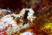 20080228-20080302綠島:背景太亂了,看不太出來是一隻全身開花海蛞蝓