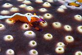 20080406-08小琉球:另一隻更小的帝王蝦,在另一種海參上
