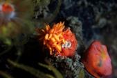 20170715-0716_東北角(上) Northeast Coast,Taiwan:哈哈~ 真沒想到會是在夜潛看到許久不見的星珊瑚Nu,好小隻,6mm左右,拍到嗅角真幸運