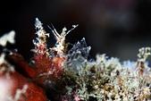 20190629-30_東北角(下) Northeast Coast,Taiwan:首見的Inshore hairy shrimp - 雙手那個像蜘蛛網的構造真是太奇妙了!