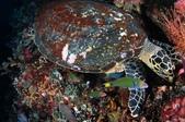 20171004-1011_Anilao Part V:其實周遭的小魚都在撿現成的啦,等好康,該說投機還是聰明呢?這隻玳瑁超貪吃,珊瑚礁被牠啃出一個小洞來.