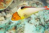 20080425Moalboal - 20080502:嘴巴真的很像鸚鵡的鸚哥魚幼魚