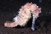 9511 BALI ISLAND TRIP :潛點-Seraya,神奇的斷尾海馬