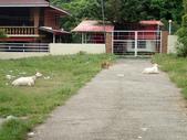 20171004-1011_Anilao Part V:一片很多垃圾的草地上有2隻羊跟一群陌生狗,幸好是友善的陌生狗