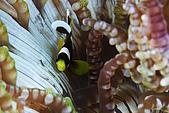 20080228-20080302綠島:迷你的小丑魚