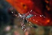 20170404 Ambon Diving 安汶潛水趣:滿肚子綠色蛋蛋, 可愛的清潔蝦, 牠們很樂意幫你清牙縫