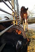 20090209鹽水蜂炮+新營+柳營:馬羊爭食,有隻特別小的羊可無界限鑽來鑽去
