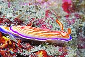 20080615東北角:海蛞蝓