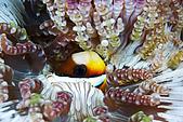 20080228-20080302綠島:硬塞在海葵嘴巴的迷你小丑魚的同居魚