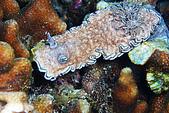 20080406-08小琉球:粉大隻的可可亞口味海蛞蝓,雙裸鰓系列