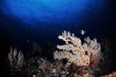 20170405 Ambon Diving 安汶潛水趣:這邊的潛點,能見度真的還不錯,後面密集小點點都是小魚