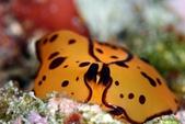 20180414_東北角開潛啦~ Northeast Coast,Taiwan:趴睡的黃色龜甲萬,顯示極度放鬆狀態,從背後看,像一張有趣的臉