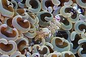 20090625國境之南最終回:腎型珊瑚(以前誤認為海葵)上的抱蛋蝦