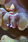 20080406-08小琉球:透明漂亮蝦