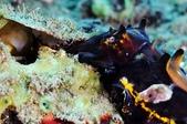 20170404 Ambon Diving 安汶潛水趣:有一些Size特別小顆的蛋,天生營養不良,應該不會孵化吧