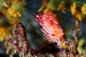 20170404 Ambon Diving 安汶潛水趣:這款美麗的扇羽海蛞蝓,在Ambon很常見