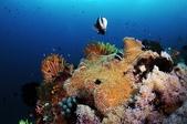 20171004-1011_Anilao Part III:各色海百合+軟珊瑚+海鞘+海葵+小丑魚...族繁. 超喜歡這塊礁石,好豐富