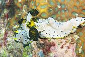 20080425Moalboal - 20080502:自從西巴丹後,第二次見的到罕見海蛞蝓,背上偽裝真的很像菜