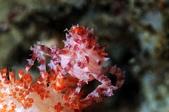 20170604_梅雨鋒面剛過的蝙蝠洞 Northeast Coast,Taiwa:這隻小糖有點呆萌,不然就是有色盲,竟然沒發現自己身上的顏色跟這株軟珊瑚差這麼多?個頭又大,馬上被發現