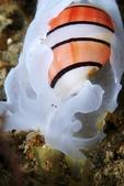 20170715-0716_東北角(上) Northeast Coast,Taiwan:第2款婚妙泡螺 (今年夜潛所有的泡螺都是阿星發現的,夜潛泡螺達人,哈哈)