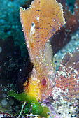 20080525東北角:搖擺不定的濟公魚,很像在吃草