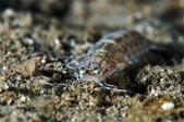 20170701-0702_東北角(上) Northeast Coast,Taiwan:特別的螳螂蝦,是扁的!趴在沙地上,平常怕人,但這隻卻沒那麼怕人