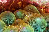 20080629東北角:首見-紅色虛線海葵蝦