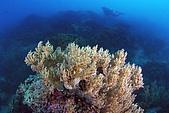 20090625國境之南最終回:珊瑚與模糊的潛水人,想像一下後面都是滿滿的軟珊瑚群