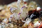 20180404_Amed_Bali 巴里島Amed潛水 Part 3:阿星發現的美葉,有時潛水就像抽獎,有時抽中有時摃龜,這隻是很好的獎品