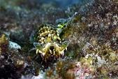 20190210-0211 恆春墾丁(下) Kenting,Taiwan :20190210 2nd山海-好漂亮的綠螳螂蝦!